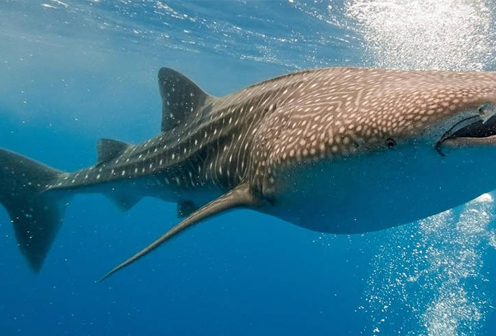 Get Up Close and Personal with the World's Largest Fish