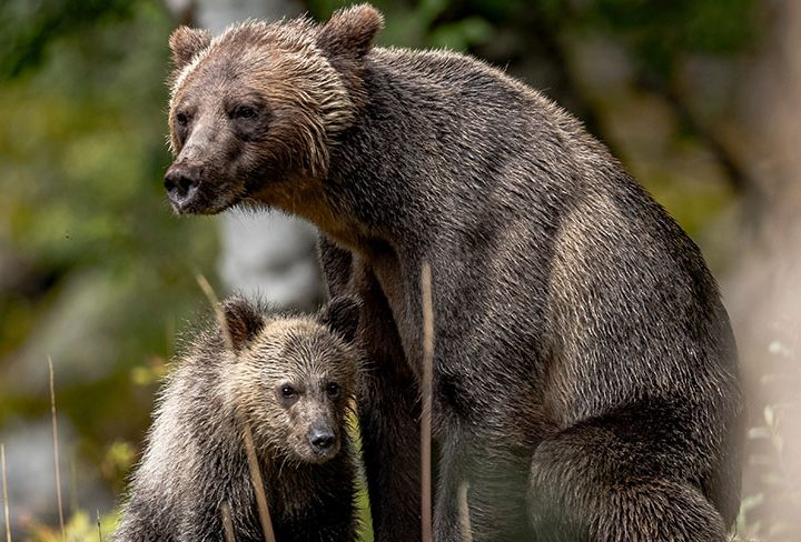 Photograph Grizzly Bears in Alaska with New Tatra Photography Tour