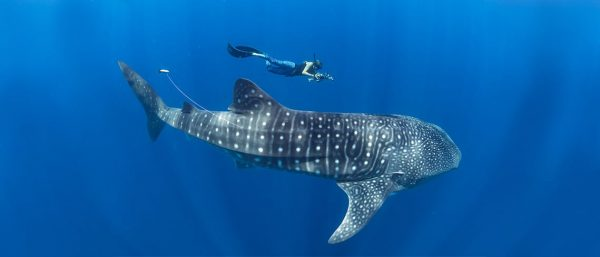 Madagascar For Whale Sharks by Rooster - img 3