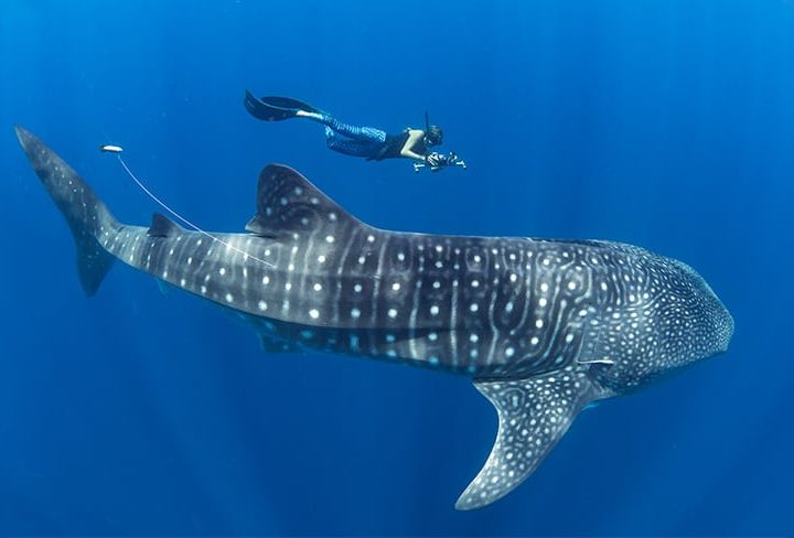 Madagascar Emerges as Hotspot for Endangered Whale Sharks