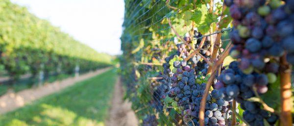 Best vineyards to visit on Long Island | Rooster PR