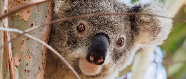 A koala looking out at the camera from a tree.