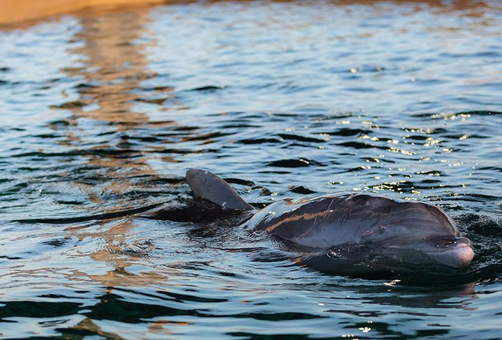 Clearwater Marine Aquarium Welcomes Rescued Dolphin to its Forever Home