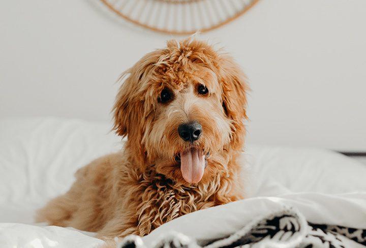 Bad Night's Sleep? Blame It On the Dog